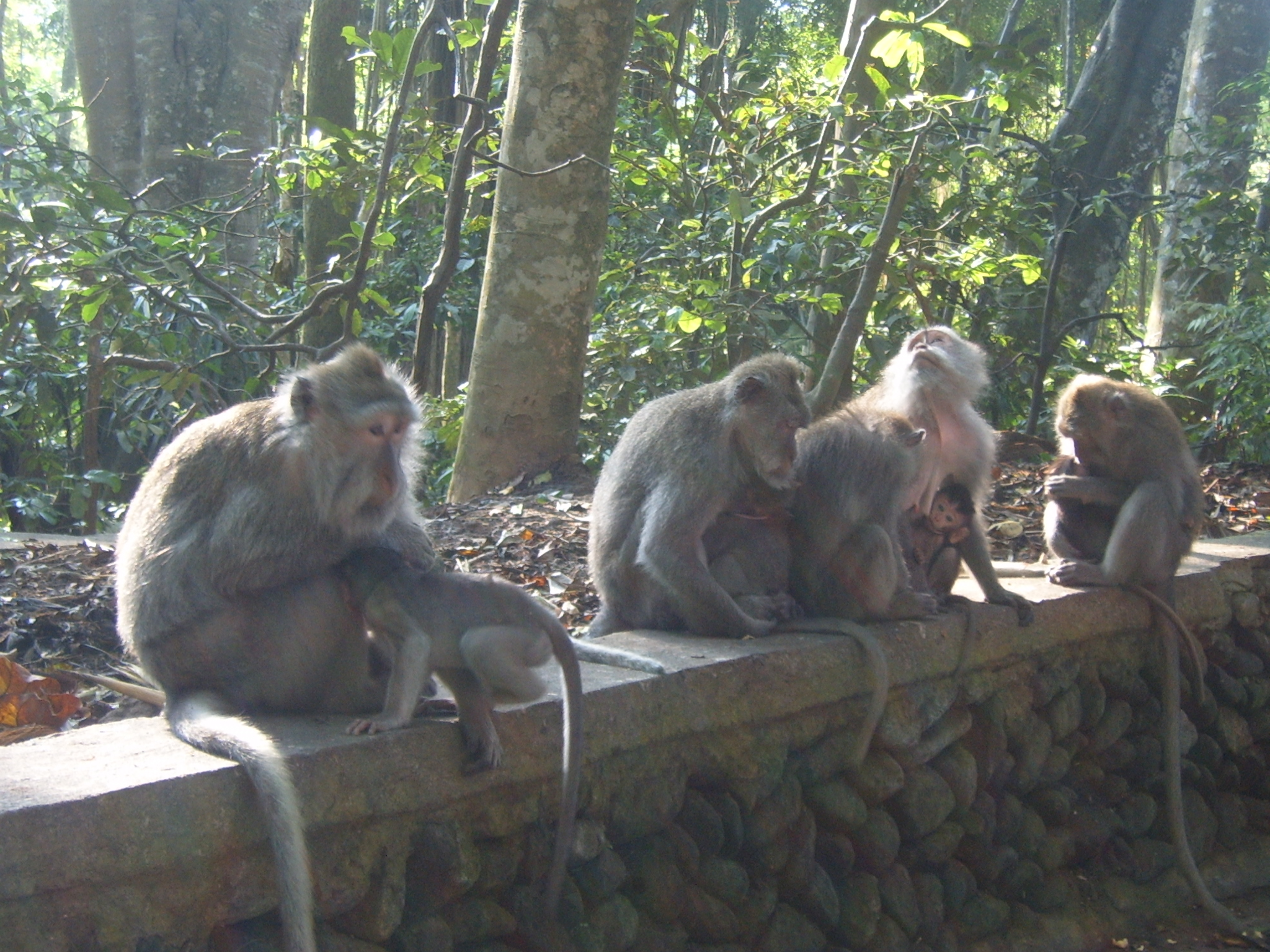 Monkeys in Monkey Forest - Bali