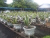 Aloe Vera Plantation, Pontianak - West Kalimantan